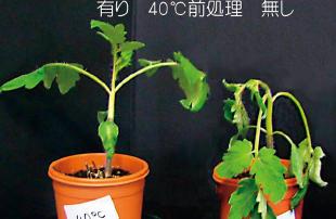 植物は高温等様々な環境ストレスに順応するシステムを持っている