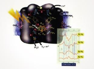 光化学系Ⅱ反応中心の構造