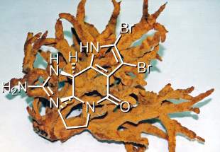 瀬戸内海でとれた海綿と抽出されたアルカロイド